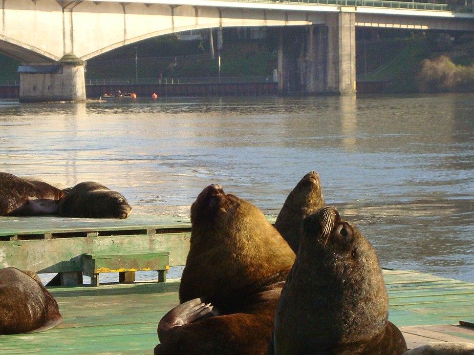 Valdivian sea lions