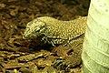 Varanus nebulosus18082009.jpg