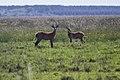 Venados en el Parque Nacional Iberá (30249289704).jpg