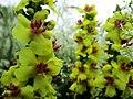 Verbascum nigrum (Dziewanna pospolita).jpg