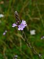 Verbena officinalis 002.JPG