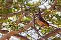 Vermilion Cardinal - Cardenal Coriano (Cardinalis phoeniceus) (♀) (22929042416).jpg
