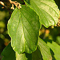 Vernal Witch-hazel Hamamelis vernalis 'New Year's Gold' Leaf 2448px.JPG