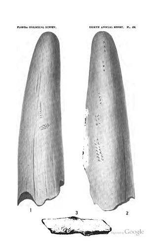Vero man - Mammoth or mastodon tusk with marks presumed to have been made by humans, found by E. H. Sellards at Vero man site in 1916