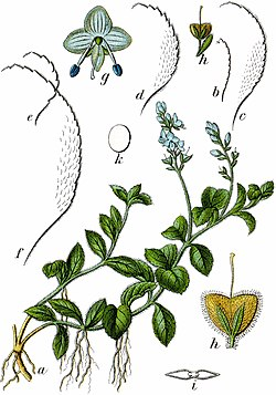 Veronica officinalis Sturm10040.jpg