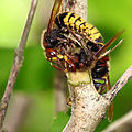 Vespa crabro fighting2.JPG
