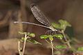 Vestalis apicalis female at Kadavoor.jpg
