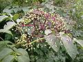 Viburnum cassinoides fruit (Whitefish Island) 1.JPG