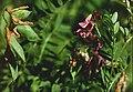 Vicia cassubica eF.jpg