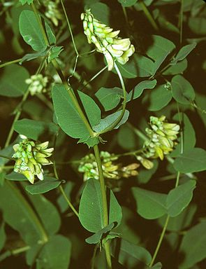 Erbsen-Wicke (Vicia pisiformis)