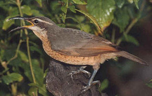 Ptiloris - Figure 1b. Female Victoria's riflebird