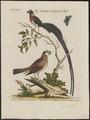 Vidua paradisea - 1700-1880 - Print - Iconographia Zoologica - Special Collections University of Amsterdam - UBA01 IZ15900105.tif