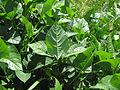 Vigna unguiculata leaf4 (10737246346).jpg