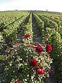 Vigne Pinot Noir (Cerseuil)Cl.J.Weber01 (23595279161).jpg