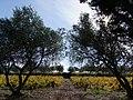 Vigne entre rangées d'oliviers à l'Est du village de Montauriol près de Las Planes en automne.jpg