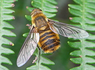 <i>Villa</i> (fly) genus of insects