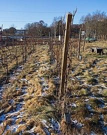 Vines in Cateaux Luna vineyard 5.jpg