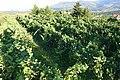 Vineyard in Melgaço.jpg