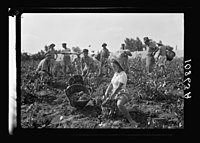 Vintage activities at Richon-le-Zion, Aug. 1939. Group of grape pickers (showing Supernumerary Police) LOC matpc.19755.jpg