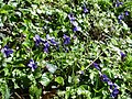 Violets by the Pilgrim's Way - geograph.org.uk - 149091.jpg