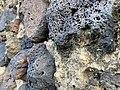 Volcanic rock walls, Ponta Delgada, São Miguel, Azores (Açores) Archipelago, Portugal (49024583698).jpg