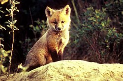 Vulpes vulpes pup sitting on stone.jpg