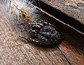 Walnut Orb Weaver Female ; Nuctenea umbratica. Araneidae (33890287765).jpg