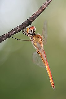 Libellulidae family of insects