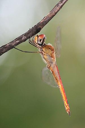 Libellulidae - Pantala flavescens