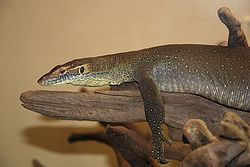 Washington DC Zoo - Varanus mertensi 2.jpg