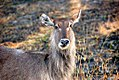 Waterbuck, Kruger National Park (5970337989).jpg