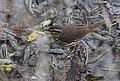 Waterthrush (33494084583).jpg