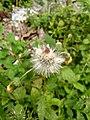 Wayanadan-random-flowers IMG 20180524 095756 HDR (41654323384).jpg