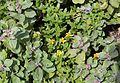 Wedelia prostrata and Vitex trifolia subsp. litoralis s2.jpg