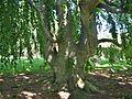 Weeping European Beech Tree beneath canopy, Cedar Hill Cemetery, Hartford, CT - June 3, 2011.jpg