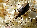 Weevil in Heartwood Forest (34271137550).jpg