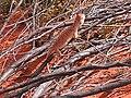 Western Netted Dragon, Uluru.jpg