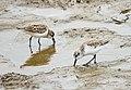 Western Sandpipers, Del Mar, California (30039167097).jpg