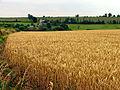 Wheat field near Lidstone - geograph.org.uk - 31429.jpg