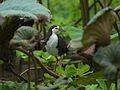 White-breasted Waterhen 5410.jpg