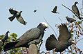 White-crowned Pigeon From The Crossley ID Guide Eastern Birds.jpg