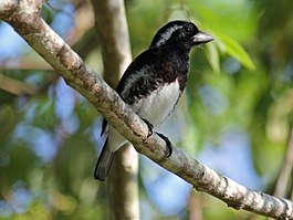 White-eared Barbet RWD.jpg