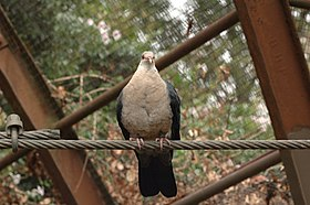 White-headed-Pigeon-Melbourne-Zoo-20070224-018.jpg