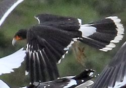 White-throated Caracara (Phalcoboenus albogularis) (15774619067) (cropped).jpg