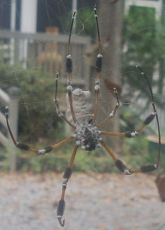 Beauveria bassiana - Spotted in St. Tammany Parish, Louisiana a Golden silk orb-weaver dead from white muscardine disease with white mold emerging from the cadaver's joints and pores.