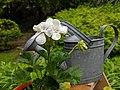 White Geranium - 20200603.jpg