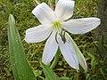 White Lilli.jpg