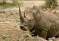 White Rhino (Ceratotherium simum) making a face ... (50103145546).jpg