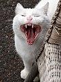 White cat yawning.jpg