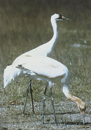 Whooping crane - Whooping cranes breed in marshes.